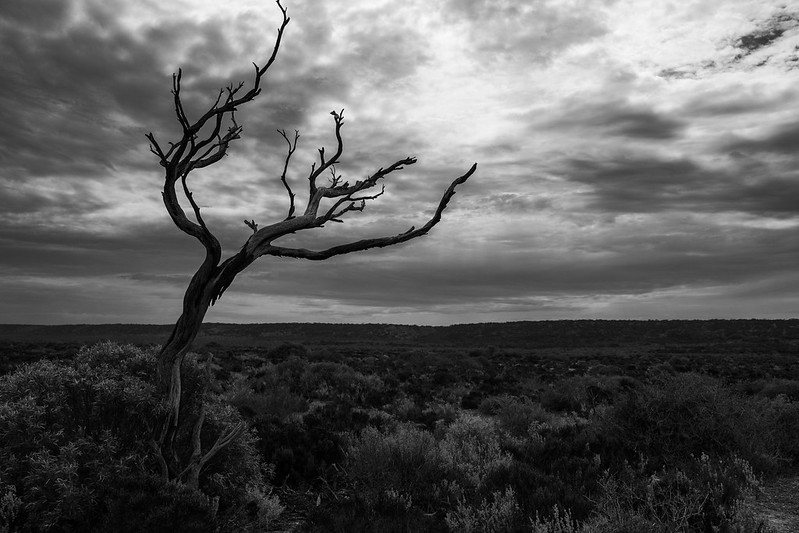 Outback dead tree