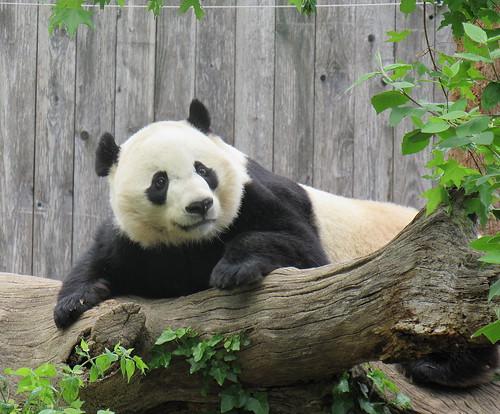Bei Bei posing on his log