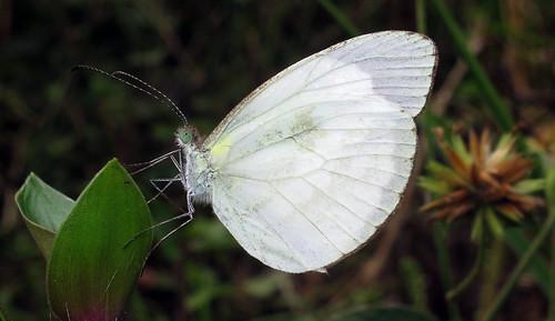Dismorphia thermesia