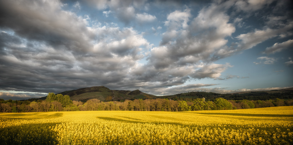field of rapeseed with evening shadows | Auchterarder | Perthshire