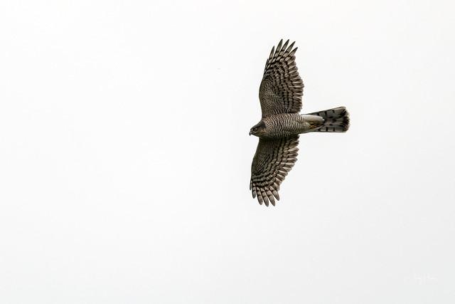 Sprawk above (1 of 2)