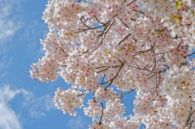 Weiße Blüten blauer Himmel