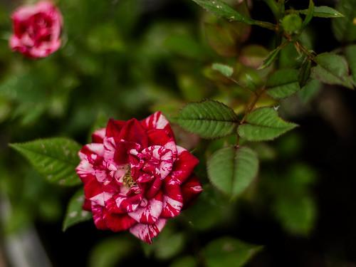 Pic(k) of the Week: Rosebud glory