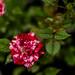 Rosebud glory