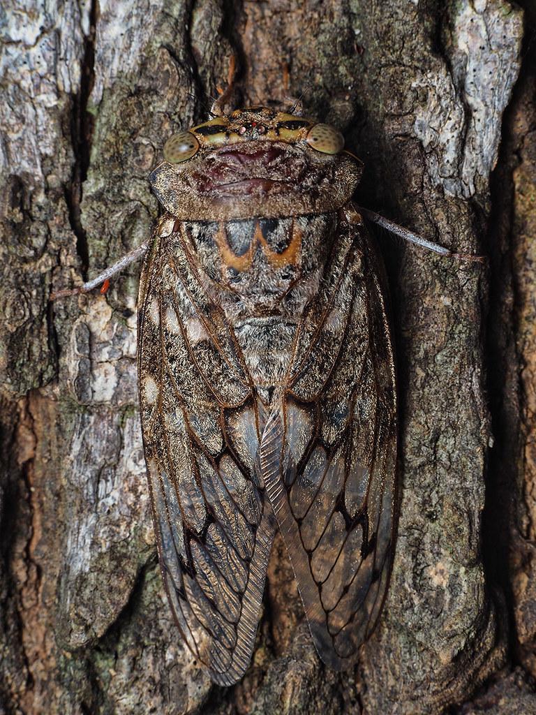 Cicada, likely Platypleura octoguttata