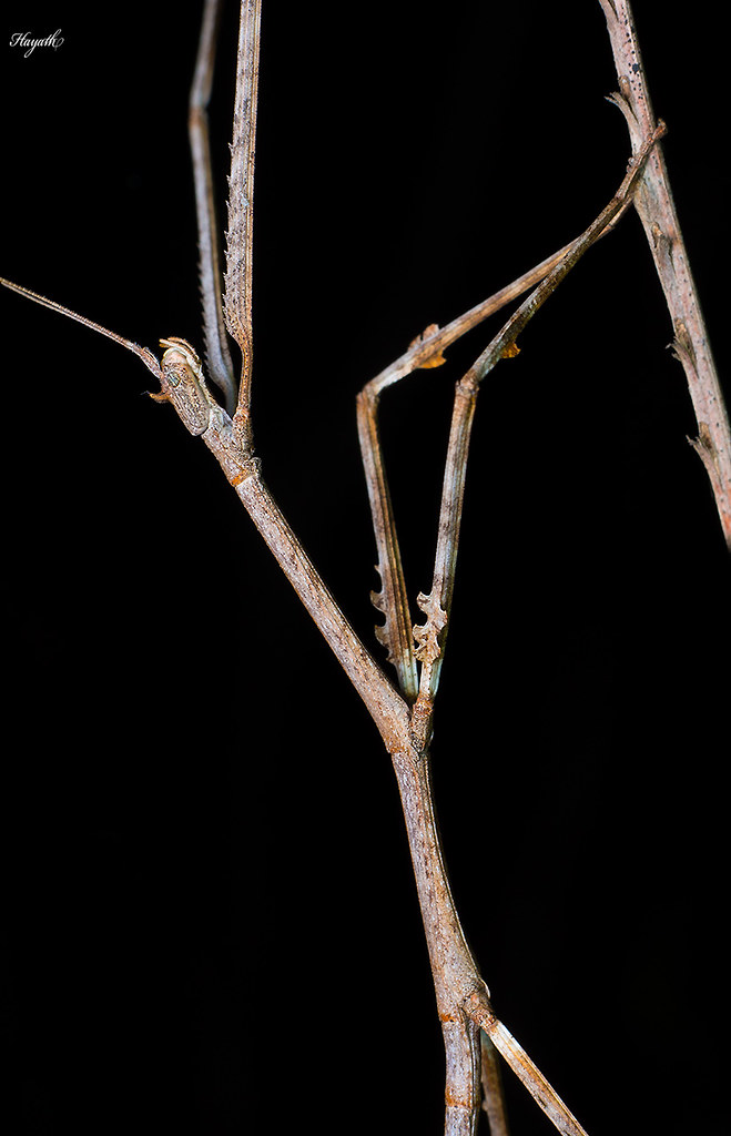 Stick insect, Phasmidae
