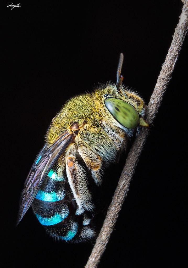 Sleeping blue-banded bee