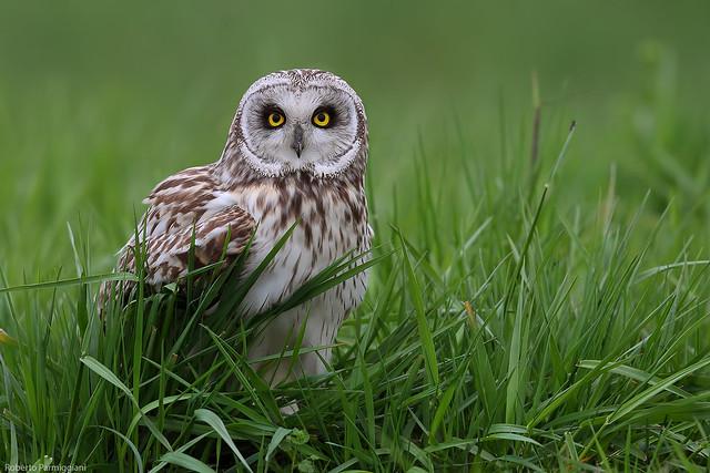 Short eared owl - gufo di paòude