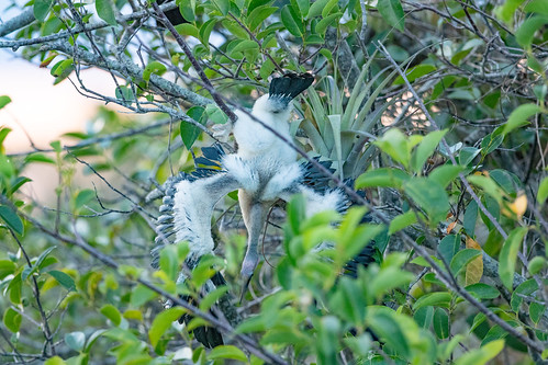 Anhinga chick trying to move about in mangrove