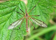 Tipula vernalis
