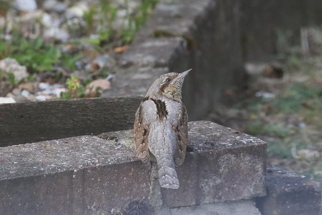 Eurasian Wryneck ~ Jynx torquilla ~ Weybourne (1)