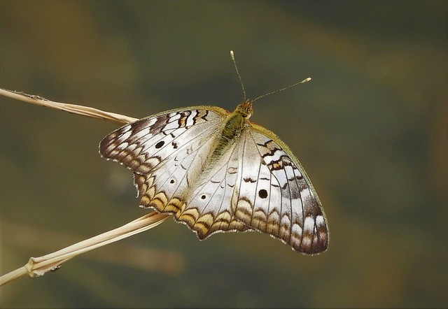 Life Butterfly:  White Peacock!