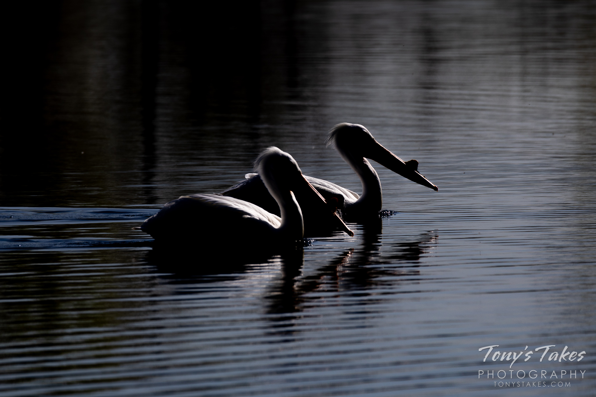 A pair of American white pelicans are silhouetted against the water of a pond in Adams County, Colorado. (© Tony's Takes)