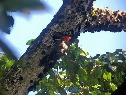Pale-billed woodpecker (Campephilus guatemalensis)