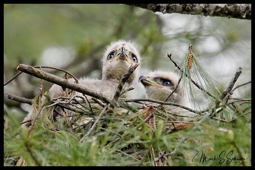 redtailedhawk hawk chick robertandmarthagaddywildbirdgarden towergrovepark stlouis missouri nikon d850 600mmnikkor