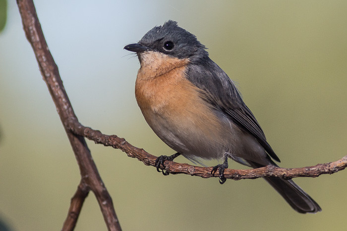 Maybe Leaden Flycatcher