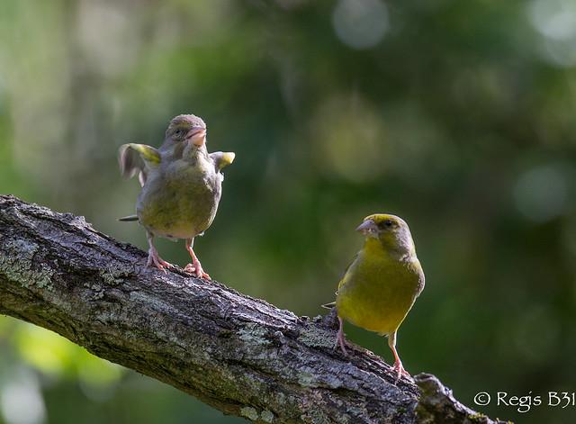 La danse des canards interprétée par les verdiers...