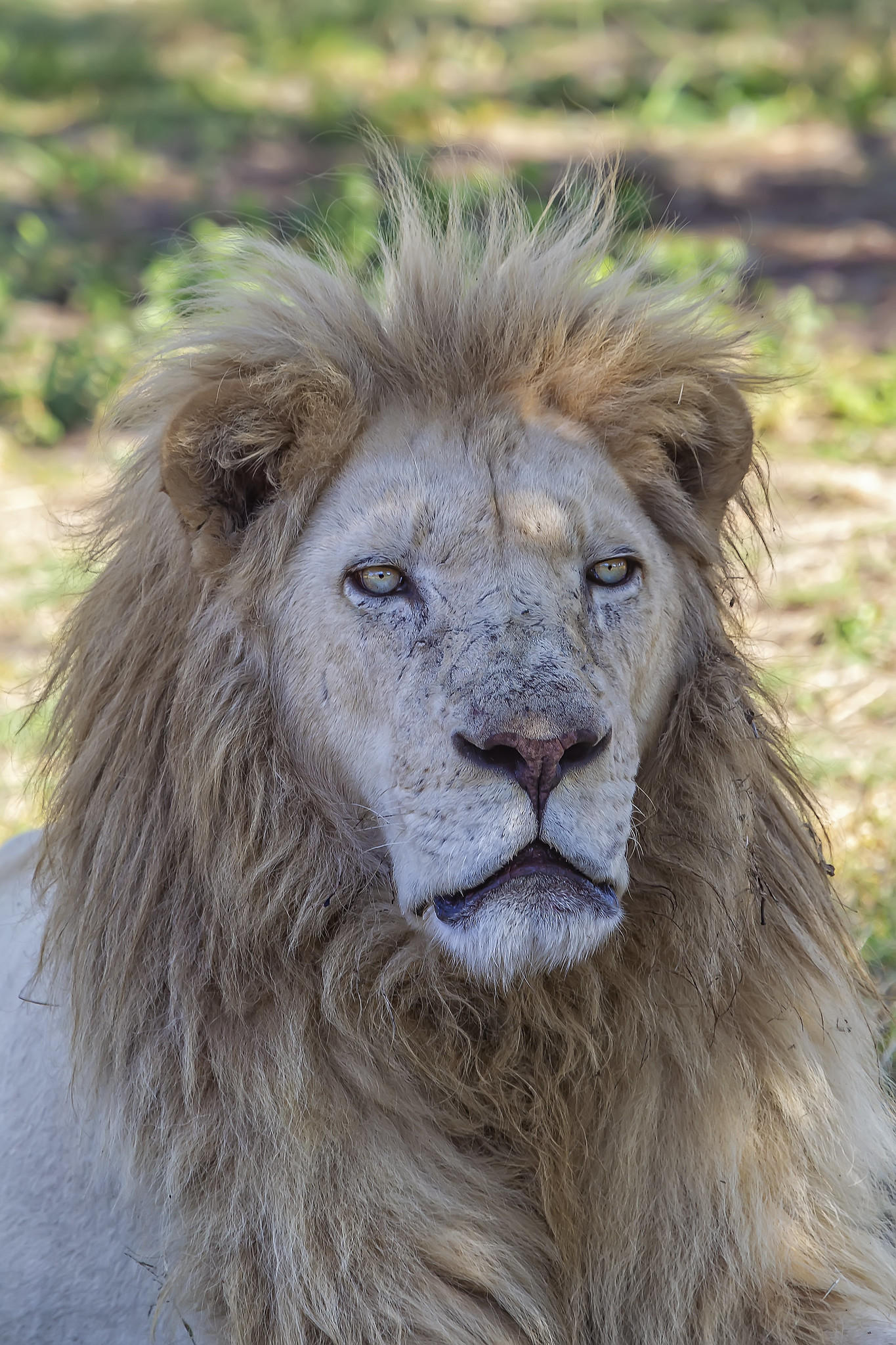 Older Lion in South Africa