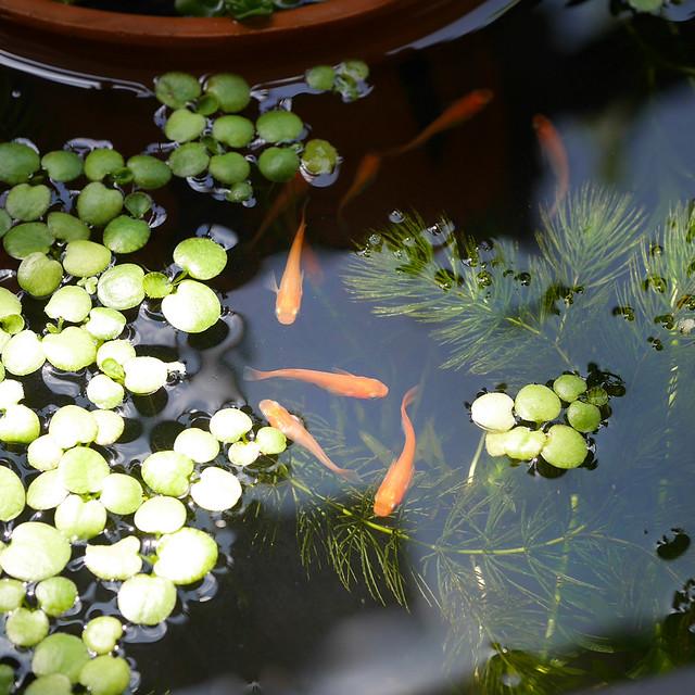 1080x1080 Mini Pond 0502