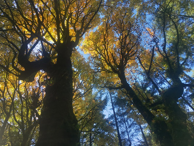 The Oldest Big Leaf Maple in Canada Found In Stanley Park