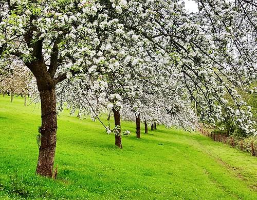 Apple blossom (buckaroos70)