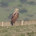 White-tailed Eagle on dam (1)