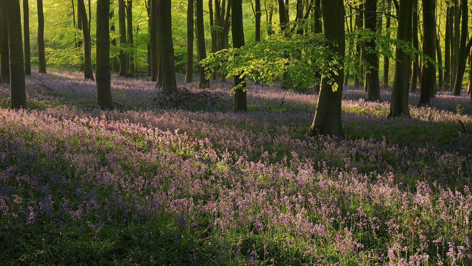 Itchen Wood Bluebells at Sunset