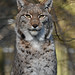 Eurasian lynx - Zoo Duisburg by Mandenno photography