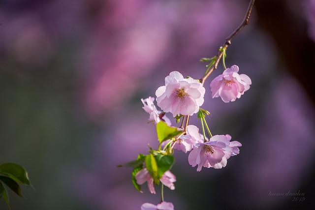 piter_2019_sakura_02