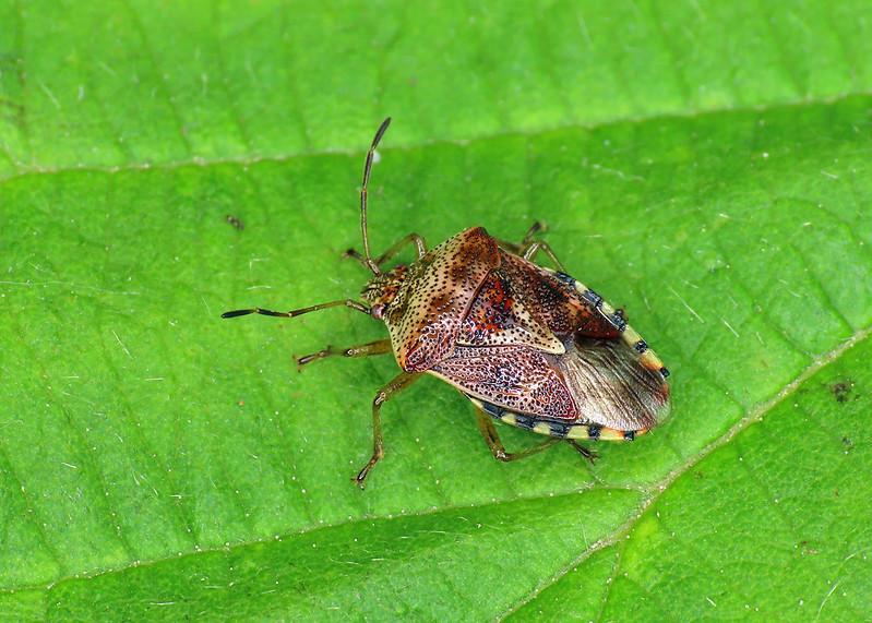 Parent Bug - Elasmucha grisea