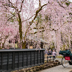 角館武家屋敷のしだれ桜(秋田県仙北市)