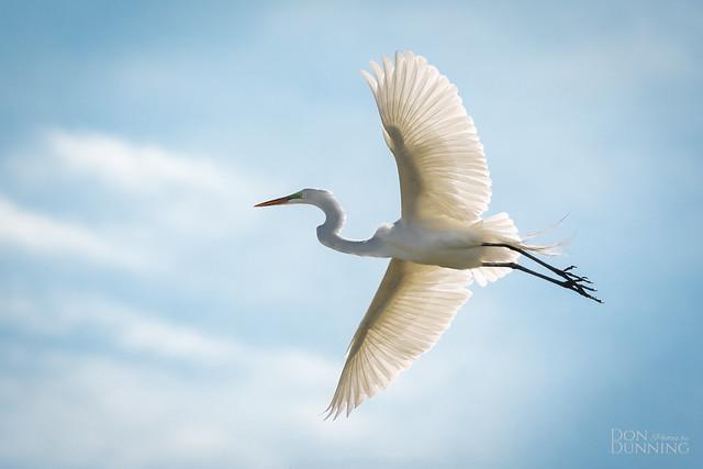 The Graceful Great Egret (Ardea alba)