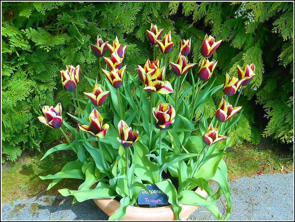 Urn of Beautiful Tulips ...