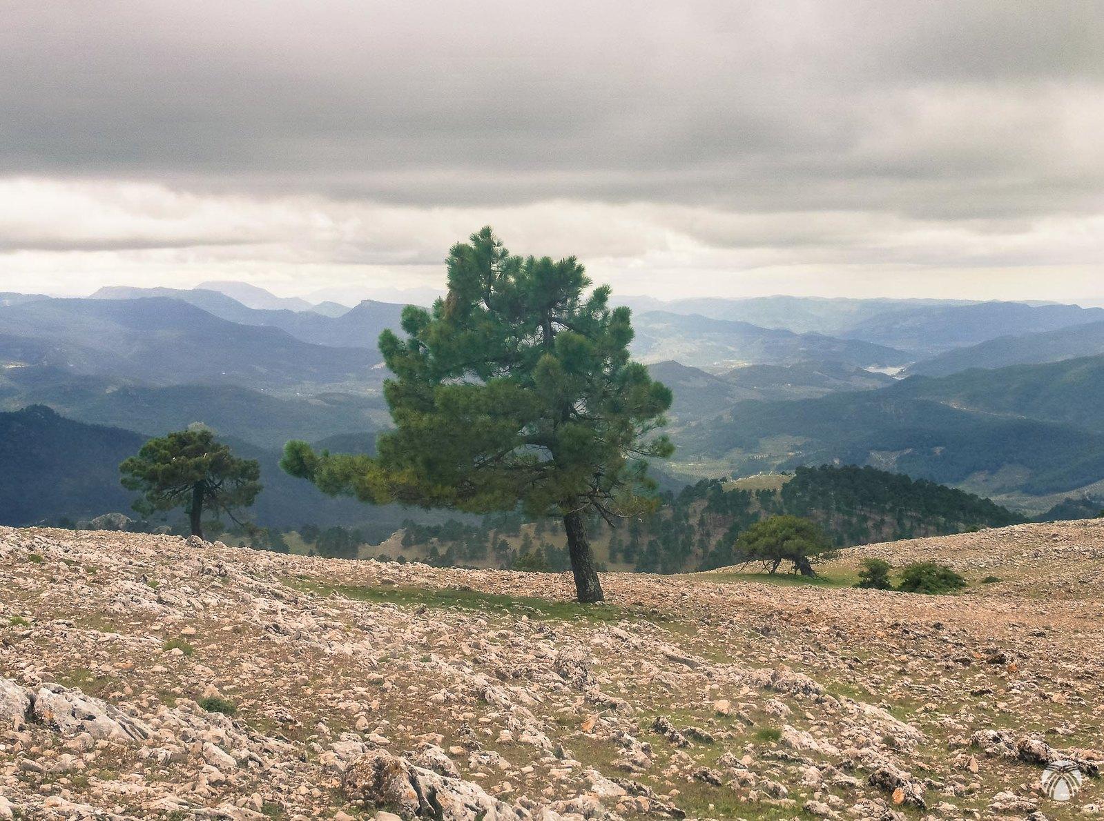 Tres pinos solitarios