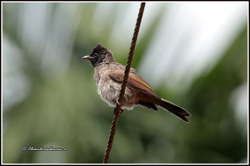 redventedbulbul bulbul birds nature india wayanad kerala canoneos6dmarkii tamronsp150600mmg2
