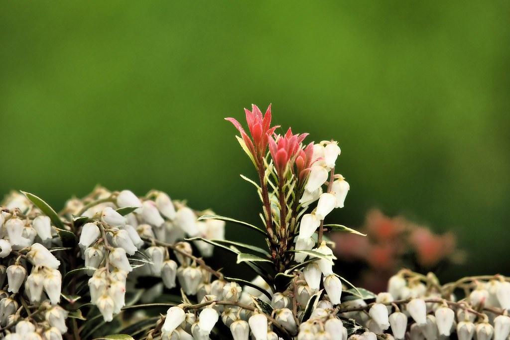 Japanische Lavendelheide (Pieris japonica)