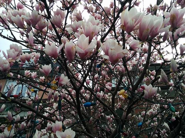 Magnolias in bloom #toronto #lansdowneave #junctiontriangle #frontyard #magnolia #flowers #latergram