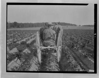 Cultivating potatoes, Greenfield, New Brunswick / Culture de pommes de terre, Greenfield, Nouveau-Brunswick