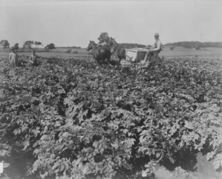 A potato field, Marshfield, Prince Edward Island / Champ de pommes de terre, Marshfield, Île-du-Prince-Édouard