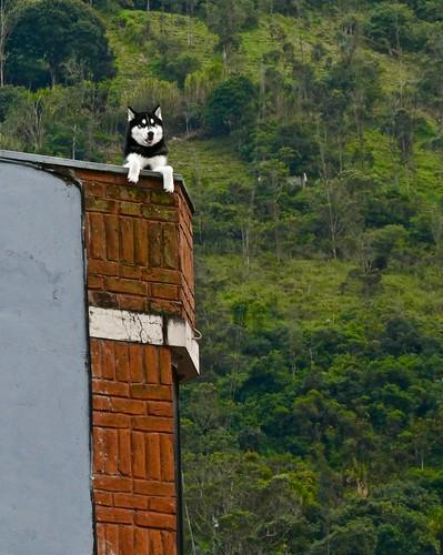 gate1travel travel gate1 trip vacation adventure ecuador south america southamerica baños de agua santa panasonic lumix tz90 zs70 dog canine husky k9
