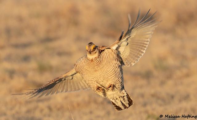 Lesser Prairie-Chickens (Tympanuchus pallidicinctus) - Kansas