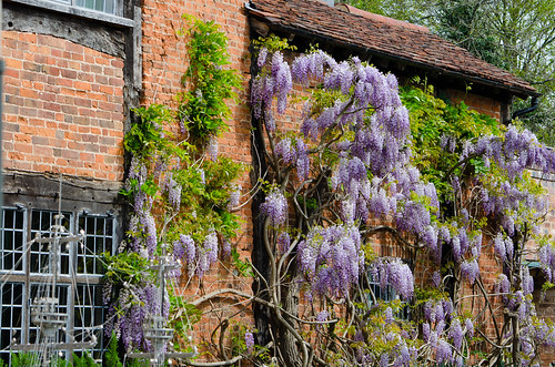 Wisteria season, Stratford on Avon