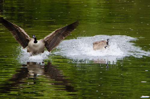 Heavy landing (Canada geese)
