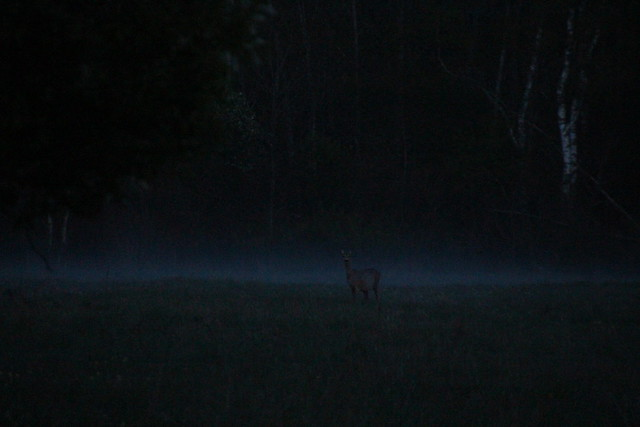 Kits udus / Roe deer in the fog