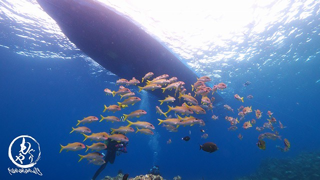 黒島ブルーに映えるアカヒメジの群れ