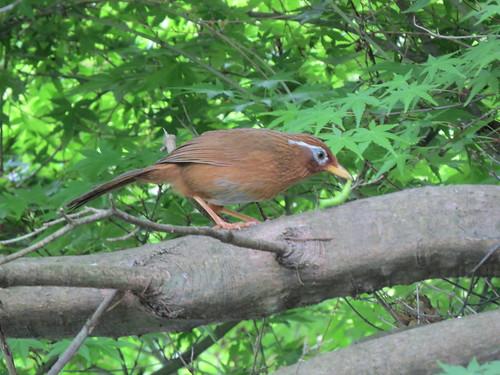 横浜自然観察の森で野鳥観察 ガビチョウ