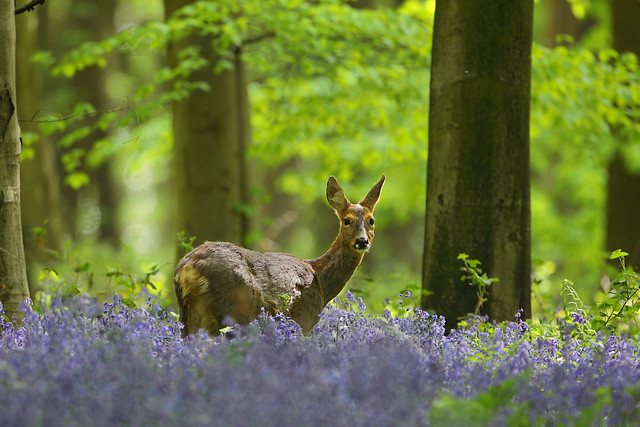 Roe Deer in Bluebell Woodland