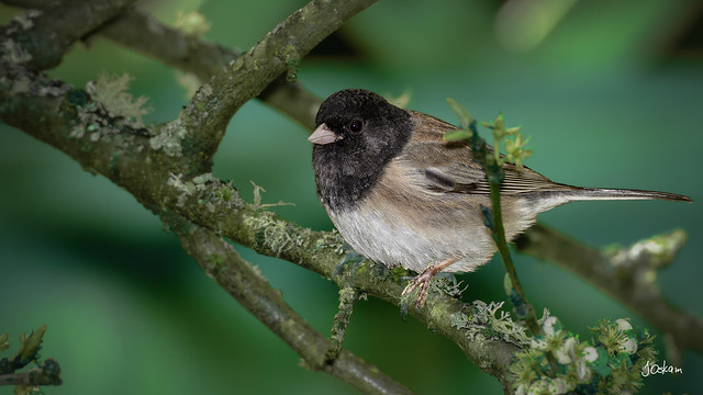Darkeye Junco
