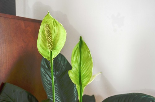 Peace Lily with Too Much Sun
