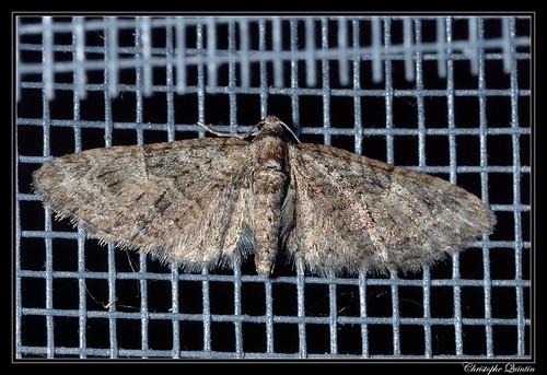 Eupithecia abbreviata